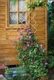 Θάμνος Clematis με τα ρόδινα λουλούδια Στοκ Εικόνα