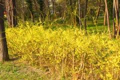 Θάμνος Forsythia με τα όμορφα κίτρινα λουλούδια στο πάρκο 2 στοκ εικόνες