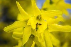 Θάμνος Forsythia που ανθίζει με χιλιάδες από τα κίτρινα λουλούδια, κινηματογράφηση σε πρώτο πλάνο Στοκ φωτογραφία με δικαίωμα ελεύθερης χρήσης