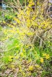 Θάμνος Forsythia που ανθίζει στον κήπο Στοκ Εικόνες