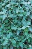 Θάμνος Fruticans Azurea Germander Teucrium με τα πράσινα μπλε μικρά φύλλα Βοτανικό υπόβαθρο σχεδίων φυλλώματος Στοκ φωτογραφία με δικαίωμα ελεύθερης χρήσης