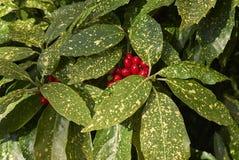 Θάμνος japonica Aucuba με τα επισημασμένα φύλλα και τα φρούτα Στοκ φωτογραφία με δικαίωμα ελεύθερης χρήσης