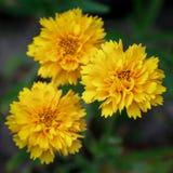 Θάμνος Japonica Pleniflora Kerria Στοκ Εικόνα