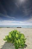 θάμνος nymphaeifolia kandoo hernandia Στοκ εικόνα με δικαίωμα ελεύθερης χρήσης