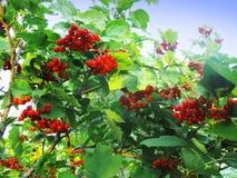 Θάμνος Viburnum με τα κόκκινα μούρα Στοκ Φωτογραφίες