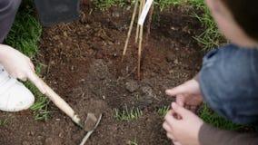 Θάψιμο ακριβώς των φυτευμένων βακκινίων απόθεμα βίντεο