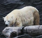 Θάλασσα-αρκούδα Στοκ Εικόνα