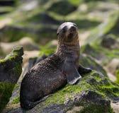 θάλασσα βράχων λιονταριών galapagos νησιά ωκεάνιος ειρηνικός Ισημερινός στοκ εικόνα