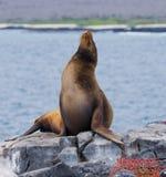 θάλασσα βράχων λιονταριών galapagos νησιά ωκεάνιος ειρηνικός Ισημερινός στοκ φωτογραφίες με δικαίωμα ελεύθερης χρήσης
