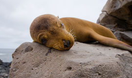 θάλασσα βράχων λιονταριών galapagos νησιά ωκεάνιος ειρηνικός Ισημερινός στοκ φωτογραφία