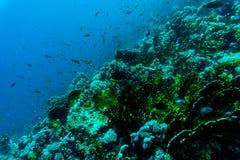 Θάλασσα κάτω από τη φύση νερού, με το κοράλλι reaf και τα ψάρια Χλωρίδα και πανίδα θάλασσας Στοκ Φωτογραφίες