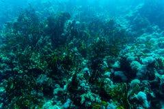 Θάλασσα κάτω από τη φύση νερού, με το κοράλλι reaf και τα ψάρια Χλωρίδα και πανίδα θάλασσας Στοκ εικόνες με δικαίωμα ελεύθερης χρήσης