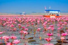 Θάλασσα του ρόδινου λωτού, Nonghan, Udonthani, Ταϊλάνδη Στοκ Φωτογραφία