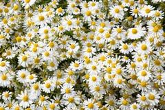 Θάλασσα των chamomile λουλουδιών Στοκ φωτογραφίες με δικαίωμα ελεύθερης χρήσης