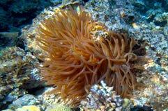 Θάλασσα Anemone - gigantea Condylactis Στοκ φωτογραφίες με δικαίωμα ελεύθερης χρήσης