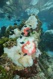 Θάλασσα anemones με το Ειρηνικό Ωκεανό ψαριών damselfish Στοκ Φωτογραφία