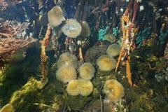 Θάλασσα anemones στις ρίζες μαγγροβίων υποβρύχιες Στοκ φωτογραφία με δικαίωμα ελεύθερης χρήσης