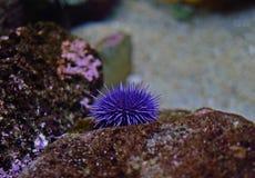 Θάλασσα anemones Στοκ εικόνα με δικαίωμα ελεύθερης χρήσης