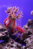 Θάλασσα anemones Στοκ Φωτογραφία