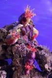 Θάλασσα anemones Στοκ φωτογραφίες με δικαίωμα ελεύθερης χρήσης