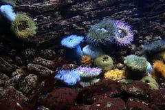 Θάλασσα anenomes Στοκ εικόνα με δικαίωμα ελεύθερης χρήσης
