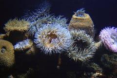Θάλασσα anenomes Στοκ Εικόνες