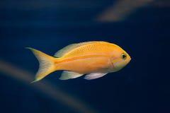 Θάλασσα goldie (squamipinnis Pseudanthias), επίσης γνωστά ως lyreta Στοκ εικόνα με δικαίωμα ελεύθερης χρήσης