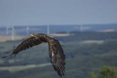θάλασσα haliaeetus αετών albicilla Στοκ εικόνες με δικαίωμα ελεύθερης χρήσης