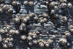 Θάλασσα Hexacorallia anemones, θαλάσσια ζωή, ζώα που ζει στον ωκεανό, υπόβαθρο Στοκ εικόνα με δικαίωμα ελεύθερης χρήσης
