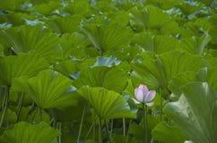 Θάλασσα Lotus Στοκ Φωτογραφίες