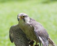 θήραμα γερακιών πουλιών lanner Στοκ Εικόνα