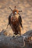 θήραμα κυνηγιού γερακιών γερακιών πουλιών που εκπαιδεύεται Στοκ Φωτογραφίες