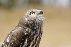 θήραμα πουλιών της Αυστρ&alp Στοκ φωτογραφία με δικαίωμα ελεύθερης χρήσης