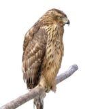 θήραμα πουλιών Στοκ εικόνες με δικαίωμα ελεύθερης χρήσης