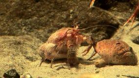 Θαλάσσια ζωή - καβούρια στο υδρόβιο περιβάλλον - τηλεοπτικός υψηλός καθορισμός φιλμ μικρού μήκους