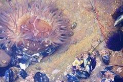 Θαλάσσια ζωή, anemone θάλασσας δίπλα στα μύδια στη λίμνη παλίρροιας Καλιφόρνιας Λαγκούνα Μπιτς κατά τη διάρκεια της χαμηλής παλίρ Στοκ Εικόνα