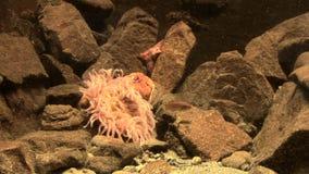 Θαλάσσια ζωή - anemone θάλασσας - anemone φραουλών - τηλεοπτικός υψηλός καθορισμός φιλμ μικρού μήκους