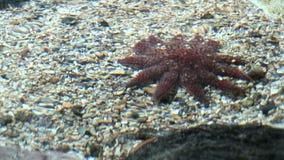 Θαλάσσια ζωή - Echinus - κόκκινοι αχινοί απόθεμα βίντεο