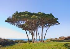 Θαλάσσια ομάδα δέντρων πεύκων. Baratti, Τοσκάνη. Στοκ Εικόνες