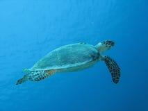θαλάσσια χελώνα 02 Στοκ εικόνες με δικαίωμα ελεύθερης χρήσης