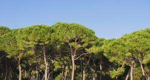 θαλάσσιο δέντρο πεύκων (πεύκο Pinaceae) στοκ εικόνα