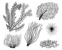 Θαλάσσιο φύκι εγκαταστάσεων φυτική ζωή και τρόφιμα για τα ψάρια χαραγμένο χέρι που σύρεται στο παλαιό σκίτσο, εκλεκτής ποιότητας  ελεύθερη απεικόνιση δικαιώματος