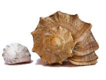 θαλασσινά κοχύλια δύο στοκ φωτογραφία με δικαίωμα ελεύθερης χρήσης