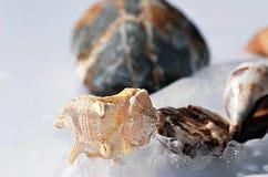 Θαλασσινά κοχύλια, και χαλίκια Στοκ Εικόνες