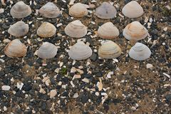 Θαλασσινά κοχύλια στα χαλίκια μιας υποβάθρου θάλασσας Στοκ Εικόνα