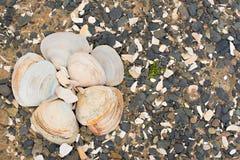 Θαλασσινά κοχύλια στα χαλίκια μιας υποβάθρου θάλασσας Στοκ φωτογραφία με δικαίωμα ελεύθερης χρήσης