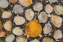 Θαλασσινά κοχύλια στα χαλίκια μιας υποβάθρου θάλασσας Στοκ φωτογραφίες με δικαίωμα ελεύθερης χρήσης