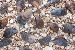 Θαλασσινά κοχύλια των διαφορετικών χρωμάτων Κοχύλια μαλακίων στενά θαλασσινά κοχύλια θαλασσινών κοχυλιών συλλογής ανασκόπησης επά στοκ φωτογραφία