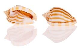 θαλασσινά κοχύλια στοκ φωτογραφία με δικαίωμα ελεύθερης χρήσης