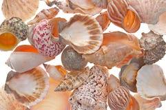 θαλασσινό κοχύλι ανασκόπ& Στοκ εικόνες με δικαίωμα ελεύθερης χρήσης
